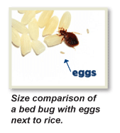 How to Get Rid of Bed Bugs Baltimore , Get Rid of Bed Bugs Maryland , Bed Bug Pictures Baltimore , Bed Bug Eggs Baltimore , Bed Bug Eggs Maryland , Bed Bug Pictures Maryland